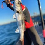 釣れたコノシロの泳がせづりで60cmUPのシーバスが釣れまくりwたまにはのんびりな船釣り!