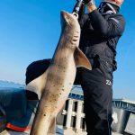 コノシロの泳がせ釣りでまさかのドチザメがヒットw大型のシーバスも上がってます!